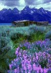 Tetons, cabin and Lupine, Grand Tetons National Park, Wyoming
