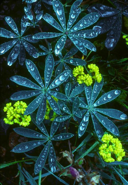 Lupine leaves in the rain, Oregon