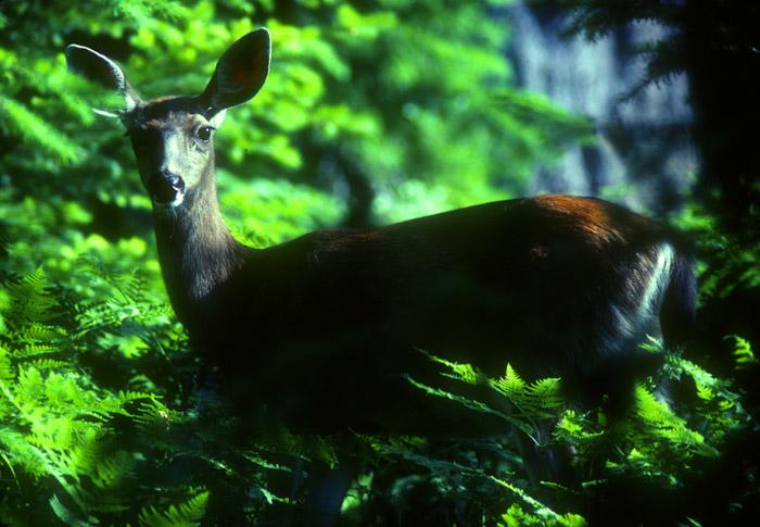 Mule Deer, Oregon Caves National Monument, Oregon