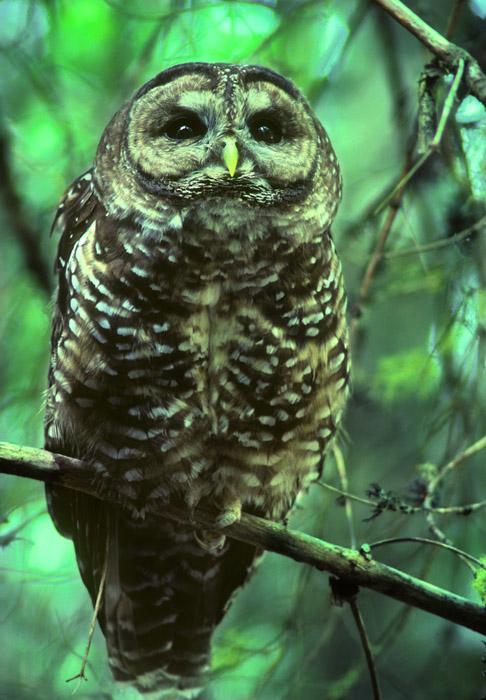 Endangered Spotted Owl, Oregon Caves National Monument, Oregon