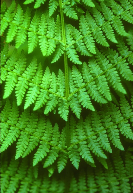 Fern Detail, Mount Rainier National Park, Washington