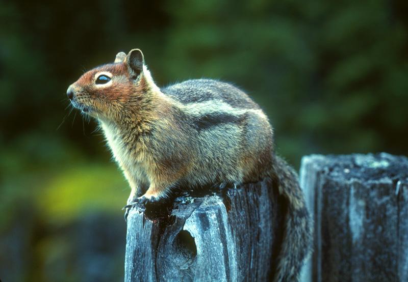 Golden Mantled Ground Squirrel Mount Rainier National Park Washington