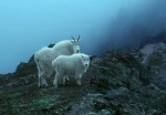 Mountain goat and kid, Olympic National Park, Washington