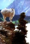 Rocky Mountain Goat Glacier National Park Montana