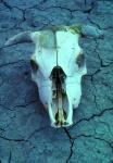 Cow Skull Plains of San Agustin New Mexico