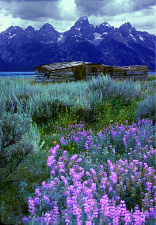 Cabin and Lupines Grand Teton National Park Wyoming