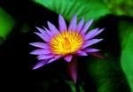 Thailand Lotus Flower, Chiang Mai