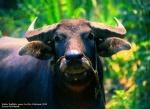 Water Buffalo Mekong Delta Vietnam
