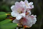 Tibet, Rhododendron