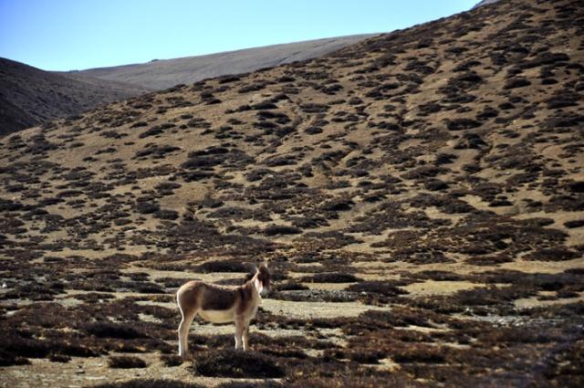 Kiang, a wild ass of the Tibetan Plateau. Near Paiku Lake