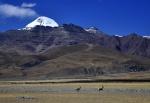 Tibetan gazelles below sacred Mt. Kailash